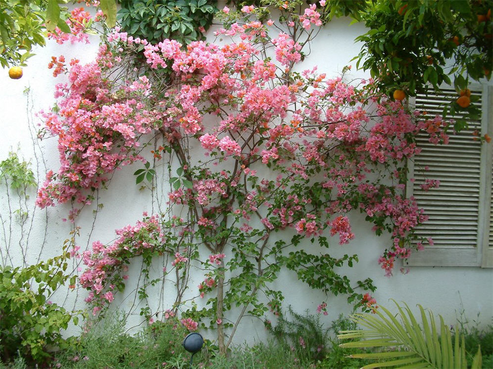 Great Bougainvillea Wall Display