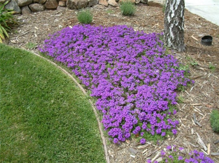 Verbena Peruviana Homestead Purple