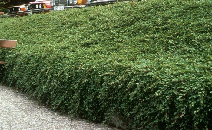 Cotoneaster dammeri - Cotoneaster dammeri green carpet ...
