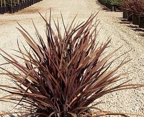 Plant photo of: Phormium 'Amazing Red'