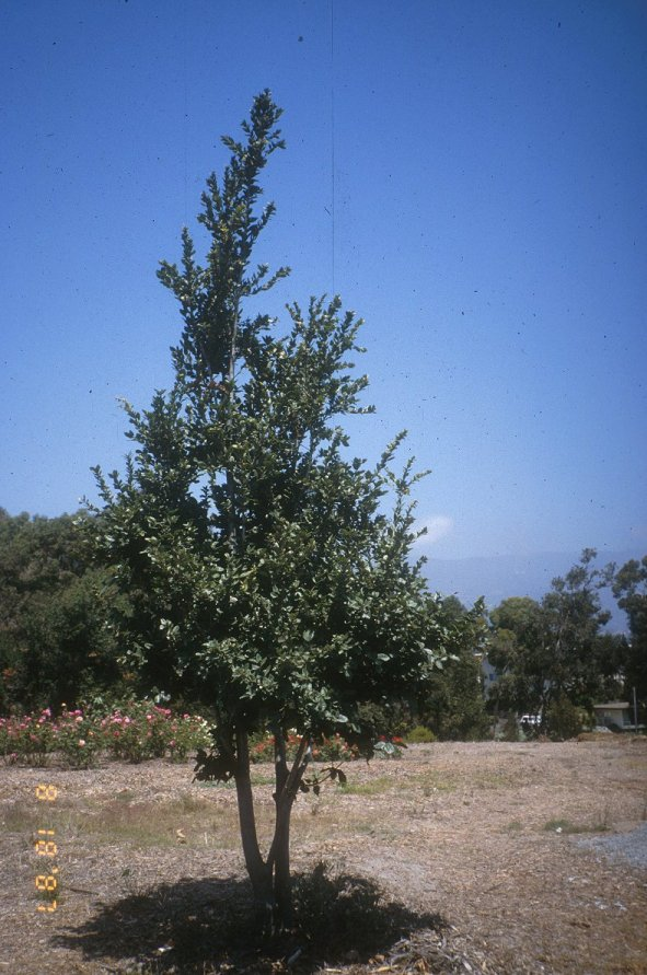 Plant photo of: Quercus tomentella