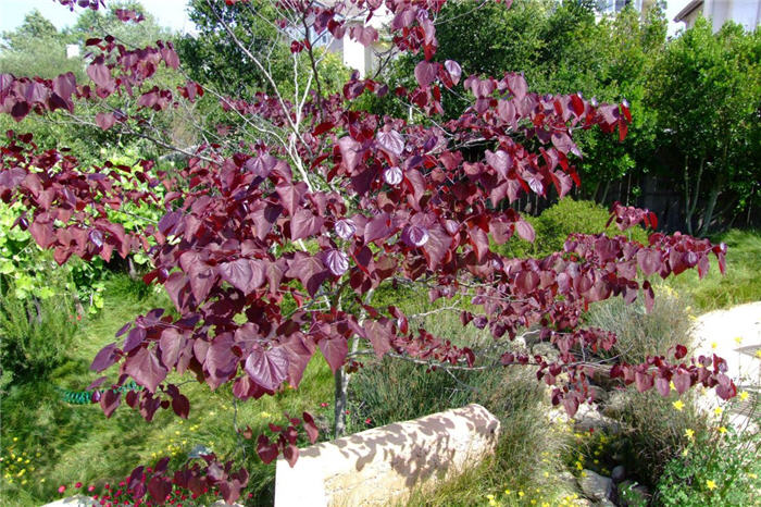 Plant photo of: Cercis canadensis 'Forest Pansy'