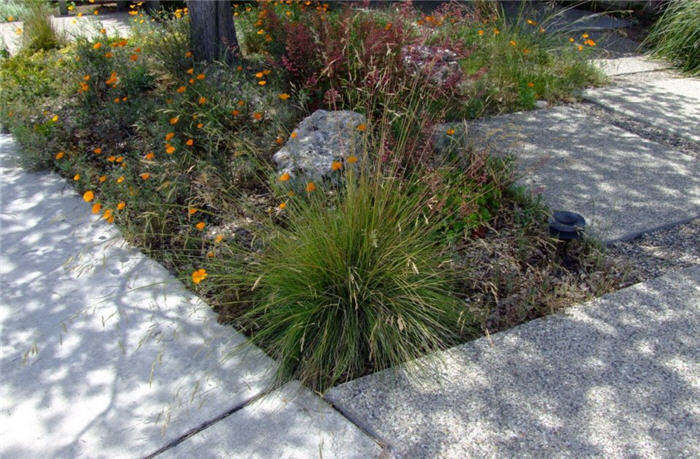Plant photo of: Festuca muelleri