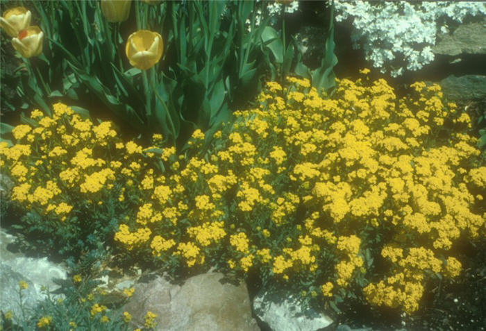 Plant photo of: Aurinia saxatilis 'Basket of Gold'