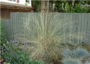 Festuca californica