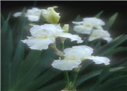 Iris bearded 'Frequent Flyer'