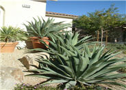 Smooth-edged Agave